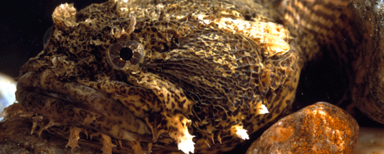 Oyster toadfish thumb